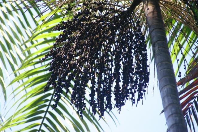 アサイーの木